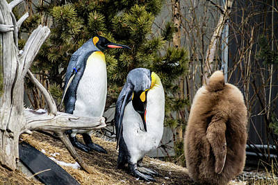 Photograph - King Penguin And Chick Taking A Stroll by David Butler