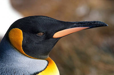 Photograph - King Penguin Aptenodytes Patagonicus by David Hosking