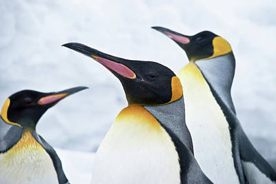 Birds In Snow Wall Art - Photograph - King Penguin by Japanese Amateur Photog