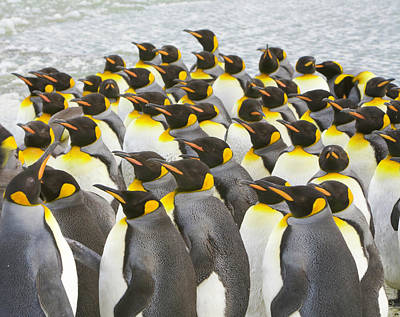 Photograph - King Penguins Congregate On Melting Ice by Eastcott Momatiuk