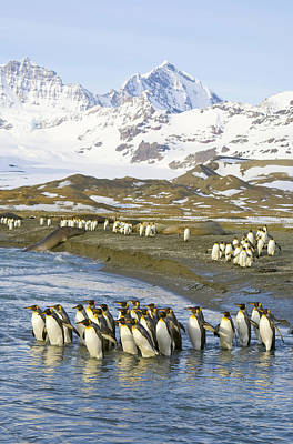 Photograph - King Penguins Marching To Sea To Wash by Eastcott Momatiuk