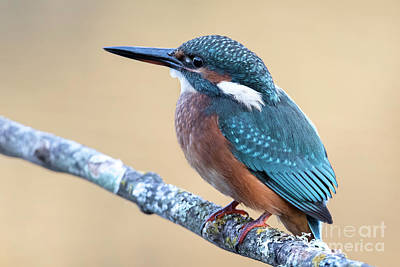 Photograph - Kingfisher by Hernan Bua