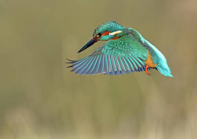 Flying Photograph - Kingfisher by Mark Hughes