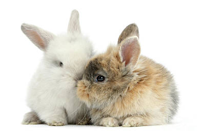 Photograph - Kissing Love Bunnies by Warren Photographic