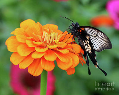 Photograph - Kite Swallowtail Butterfly Portrait by Susan Rydberg