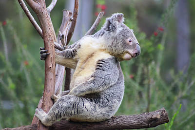 Photograph - Koala In Tree by Dawn Richards
