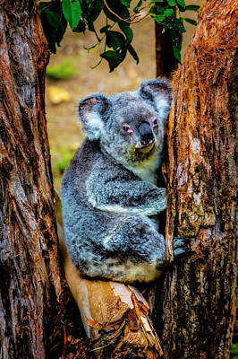 Koala Wall Art - Photograph - Koala Resting In Tree by Garry Gay