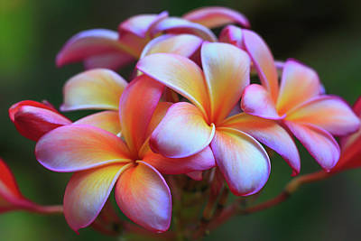 Photograph - Koko Crater Plumerias by Jade Moon