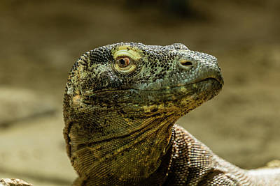 Photograph - Komodo Dragon Varanus Komodoensis In Profile, Captivity, Calga by David Butler