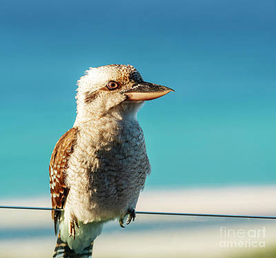 Royalty-Free and Rights-Managed Images - Kookaburra At Beach by Tim Hester