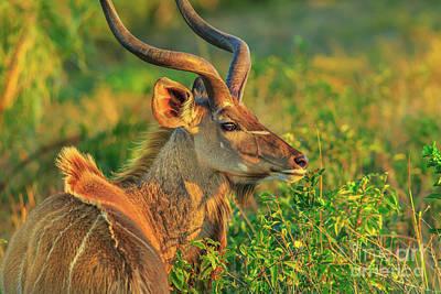 Photograph - Kudu Male Portrait by Benny Marty
