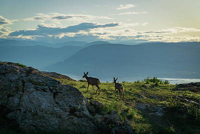 Photograph - Kuipers Peak Deer by Dave Matchett
