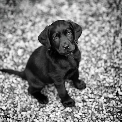 Photograph - Lab Puppy by James Ryce