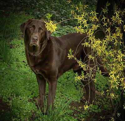 Photograph - Labrador By Forsythia by Jean Noren