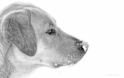 Photograph - Labrador Retriever Snow On My Nose Monochrome by Jennie Marie Schell