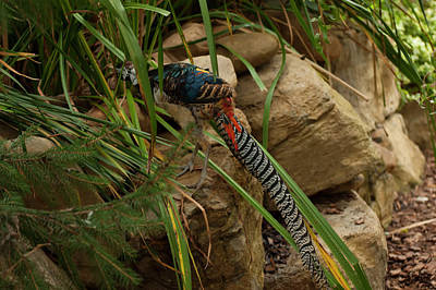 Photograph - Lady Amherst's Pheasant 001 by Chris Flees