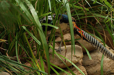 Photograph - Lady Amherst's Pheasant 003 by Chris Flees