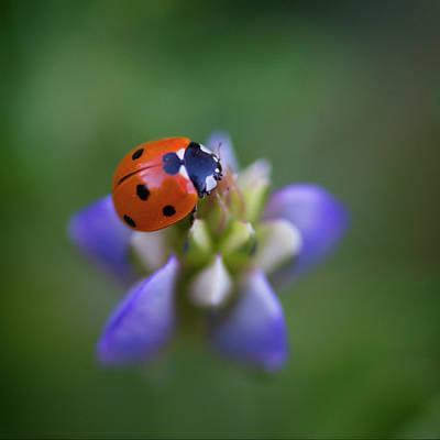 Photograph - Lady Bug by John Rodrigues