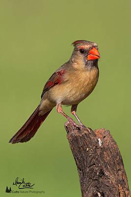 Photograph - Lady Cardinal by David Cutts