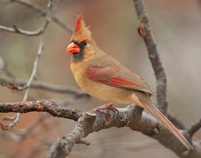 Photograph - Lady Cardinal by Lara Ellis