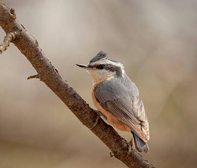 Photograph - Lady Red-breasted Nuthatch by Lara Ellis