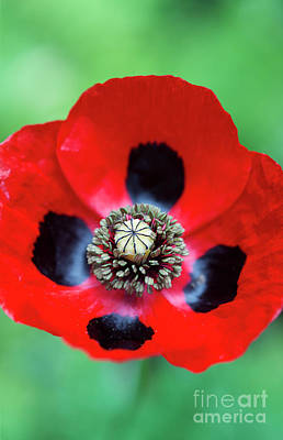 Art Print featuring the photograph Ladybird Poppy Flower by Tim Gainey