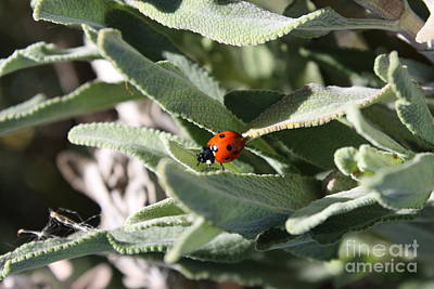 Photograph - Ladybug In The Sage Leaves by Carol Groenen