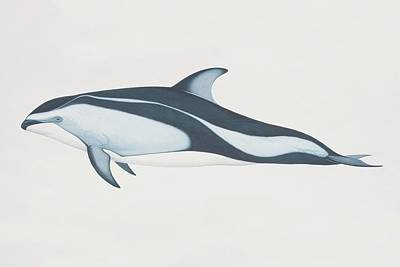 Lagenorhynchus Obliquidens, Pacific Art Print by Martin Camm