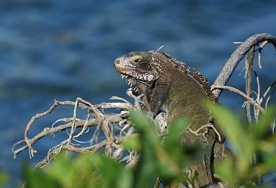 Photograph - Lagoon Iguana by Fraida Gutovich