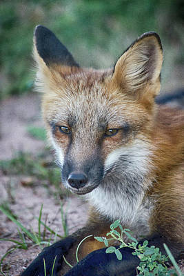 Photograph - Laid Back Fox by WB Johnston