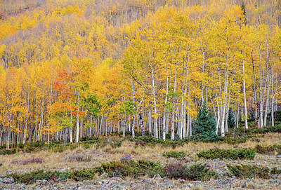 Photograph - Lake City Aspens by Gordon Ripley