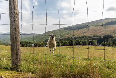 Photograph - Lake District Uk Sheep And Fence  by John McGraw