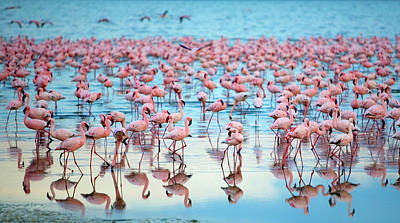 Flying Photograph - Lake Nakaru Flamingoes by Grant Faint