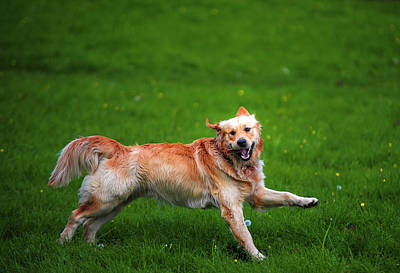 Photograph - Lalala Happy Sunday. Golden Retriever by Jenny Rainbow