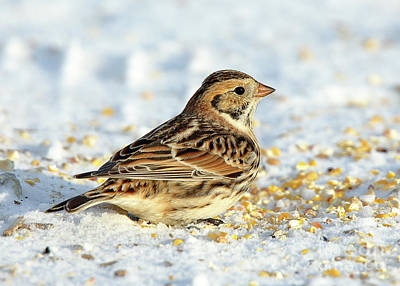 Hollywood Style - Lapland Longspur #8 by John Wijsman