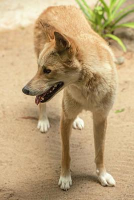 Photograph - Large Australian Dingo Outside by Rob D
