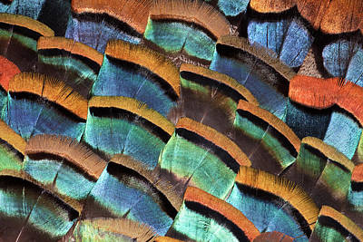 Photograph - Large Feather Design Of Oscellated by Darrell Gulin