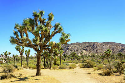 Clouds - Large Joshua Tree with Hiking Trail in Joshua Tree National Park by Felipe Sanchez