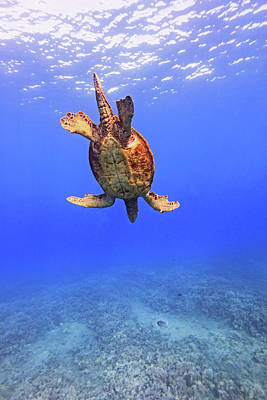 Photograph - Large Male Green Sea Turtle Swimming by Chris Stankis