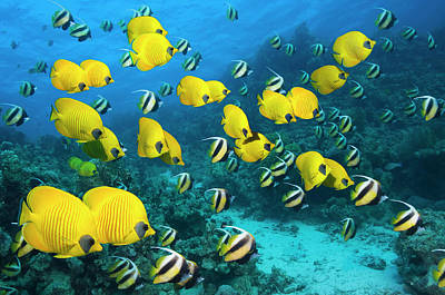 Photograph - Large School Of Golden Butterflyfish by Georgette Douwma