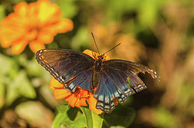 Photograph - Last of the Butterflies by Beth Sawickie