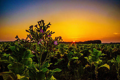 Photograph - Last Of The Tobacco Blooms by John Harding