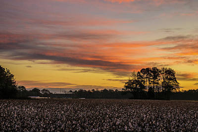 Photograph - Late Fall In The Cotton Field by John Harding