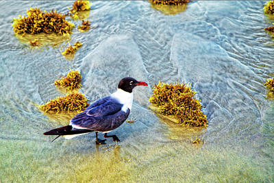 Photograph - Laughing Gull  by Kay Brewer