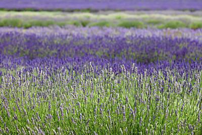 Lavender Art Print by Andrew Dernie