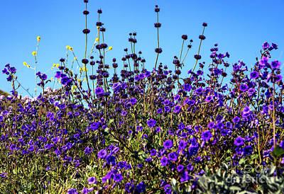 Photograph - Lavender Blooms  by Mae Wertz