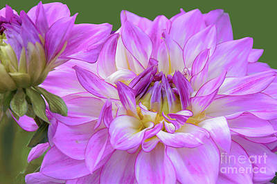 Royalty-Free and Rights-Managed Images - Lavender Dahlia Blossom and Bud by Regina Geoghan