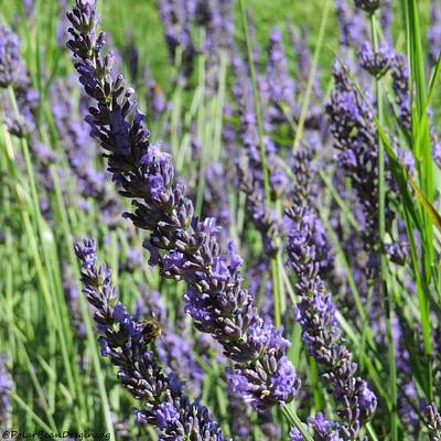 Photograph - Lavender by Donna Goutermont