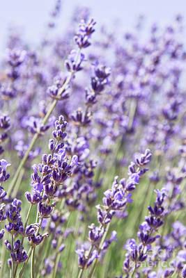 Photograph - Lavender Field by Ana V Ramirez