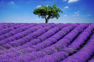Photograph - Lavender Field And Tree by Matteo Colombo